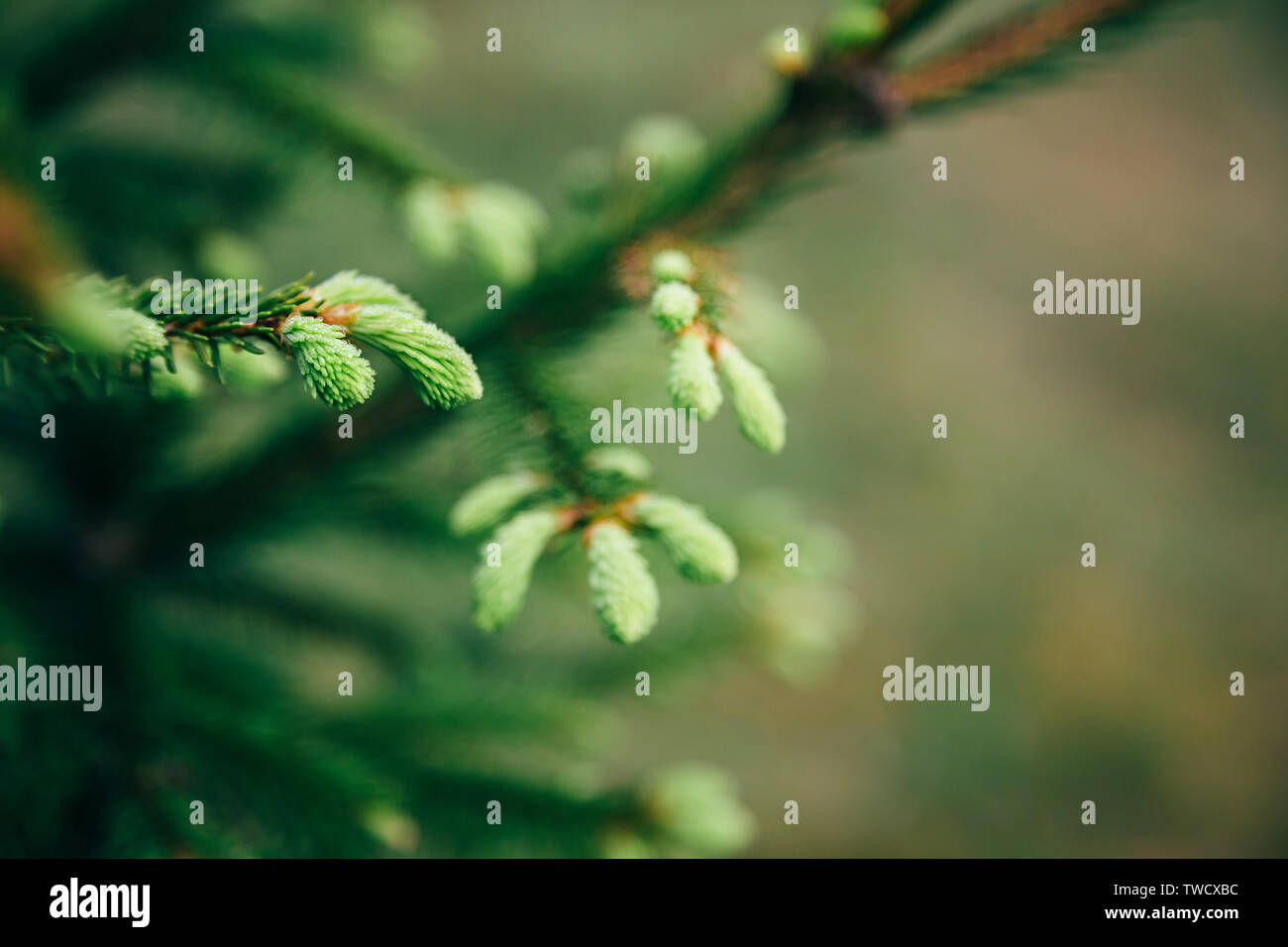 Young fir tree needles with water drops. Horizontal close up of morning dew on fir tree branches with forest in the background. Raindrops on green fir - Stock Image