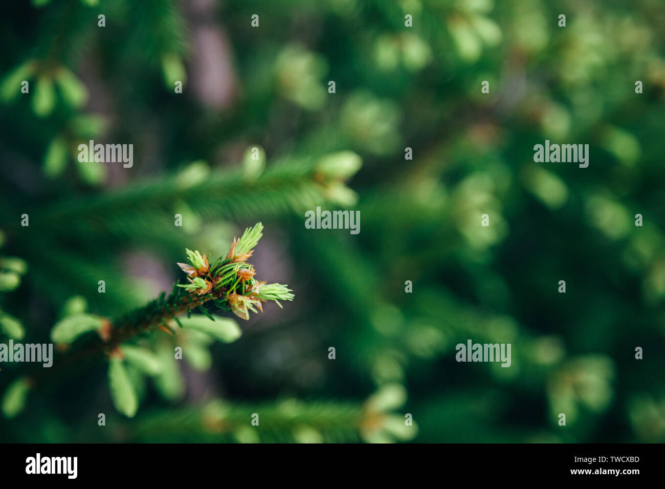 Young fir tree needles, horizontal close up fir tree branches with forest in the background. Copy space. Stock Photo