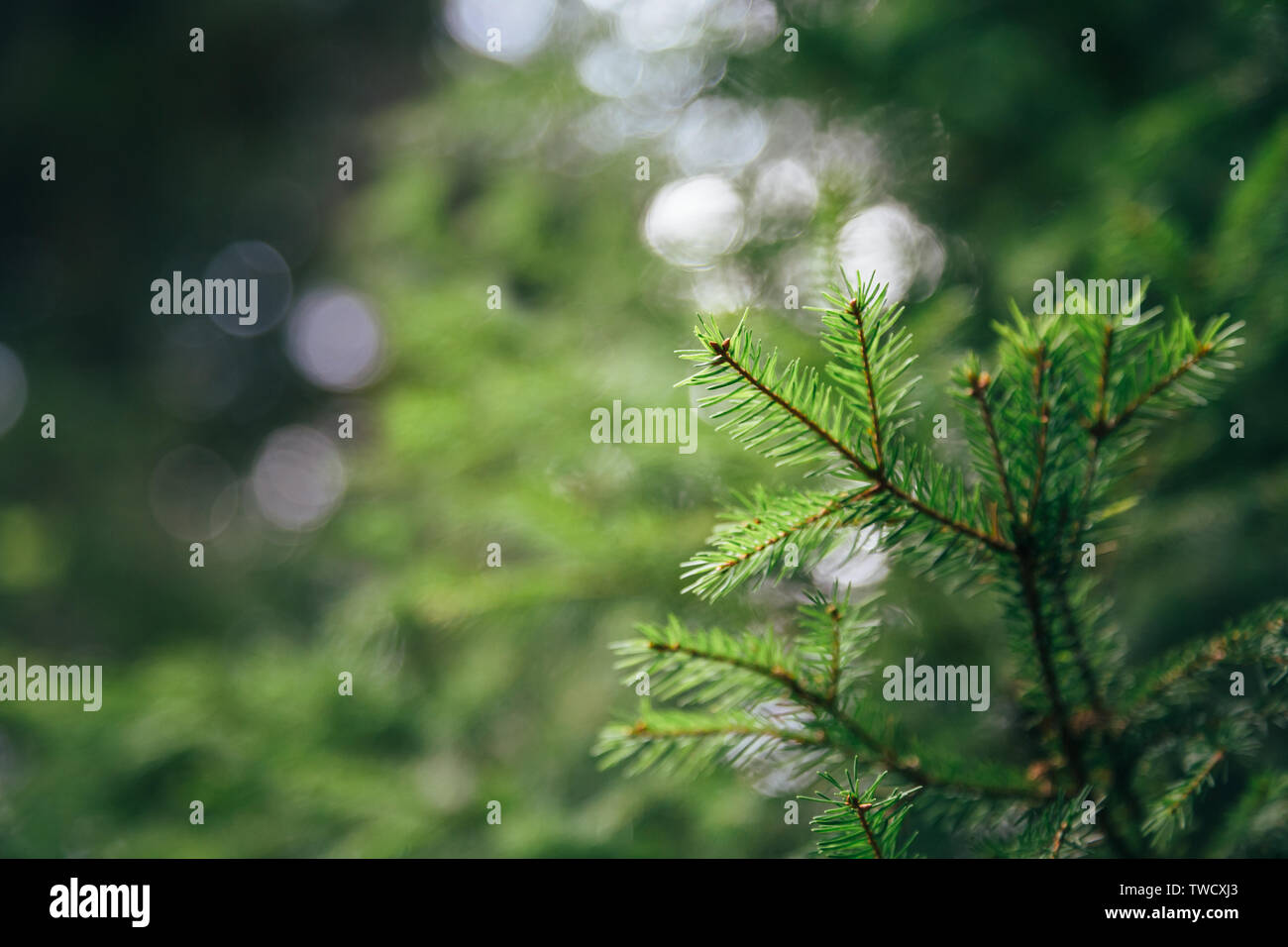Close up of small young fir tree needles with forest at background. Spring blossom background. Image for agriculture, SPA, medical industries and dive - Stock Image