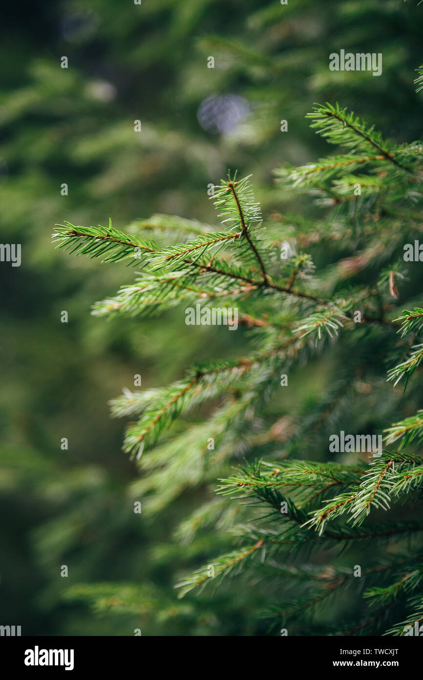 Close up of small young fir tree branches with forest at background. Spring blossom background. Image for agriculture, SPA, medical industries and div - Stock Image