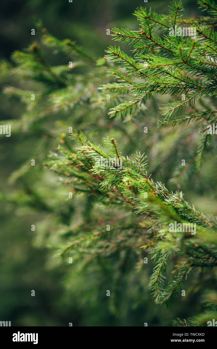 Close up of small young fir tree needles with forest at background. Shallow focus. Spring blossom background. Image for agriculture, SPA, medical indu - Stock Image