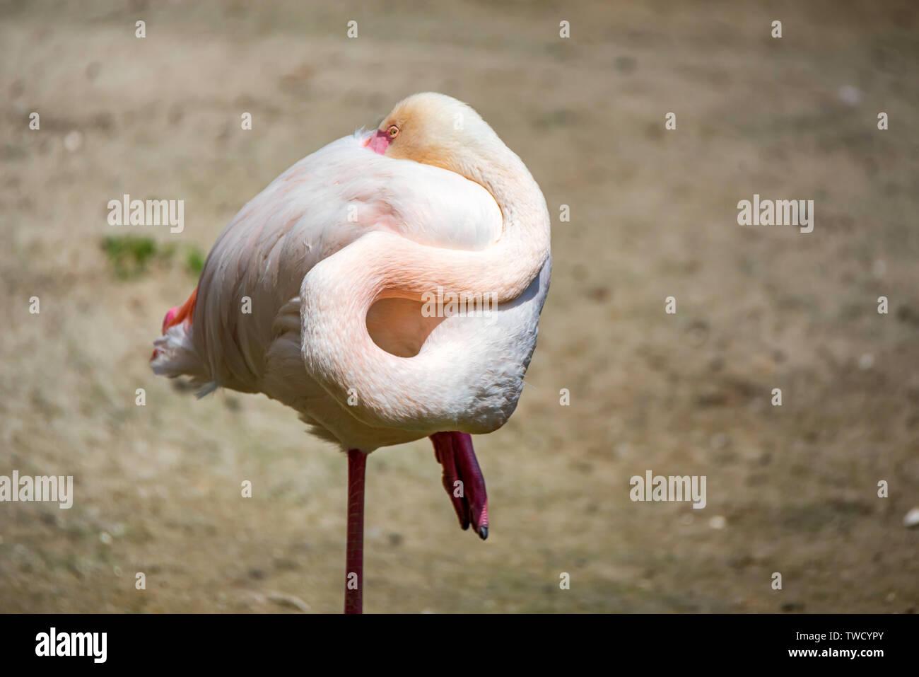 Portrait of beautiful Greater flamingo or Phoenicopterus roseus sleeps Stock Photo