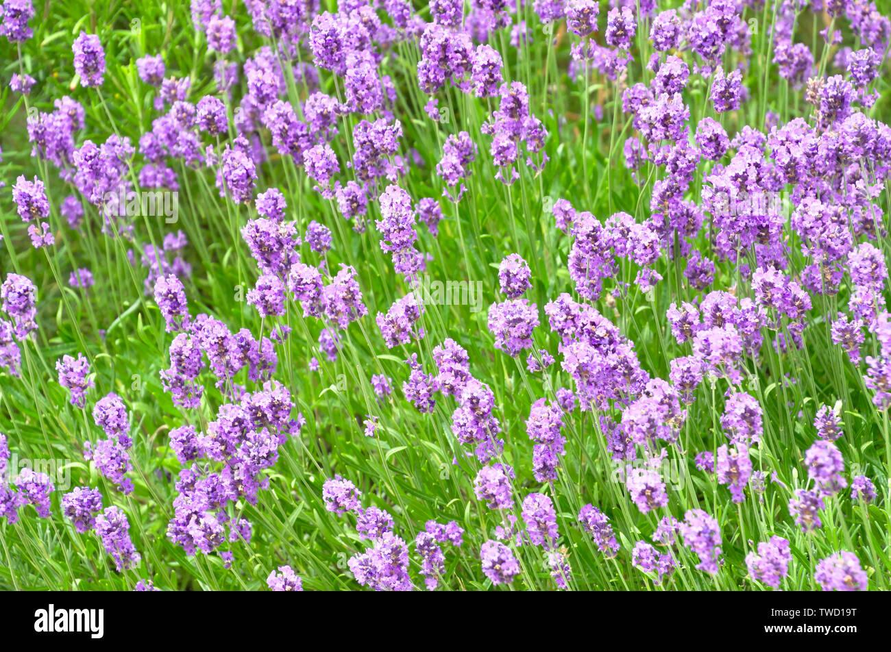 Fresh blooming lavander texture background Stock Photo