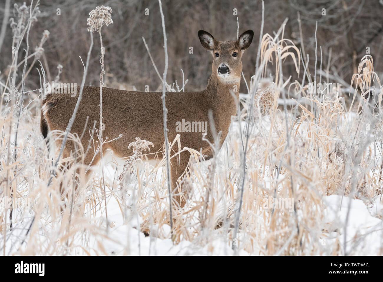White-tailed deer doe (Odocoileus virginianus), December, E USA, by Dominique Braud/Dembinsky Photo Assoc Stock Photo