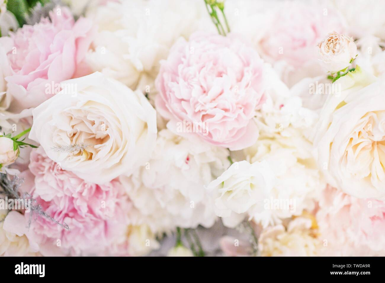 Beautiful Delicate Peony Flowers Floral Background Light Pink