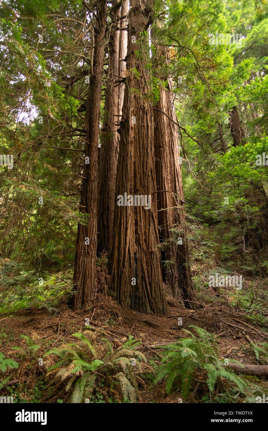 At the base of a grouping of large redwood trees in Muir Woods National Park. - Stock Image