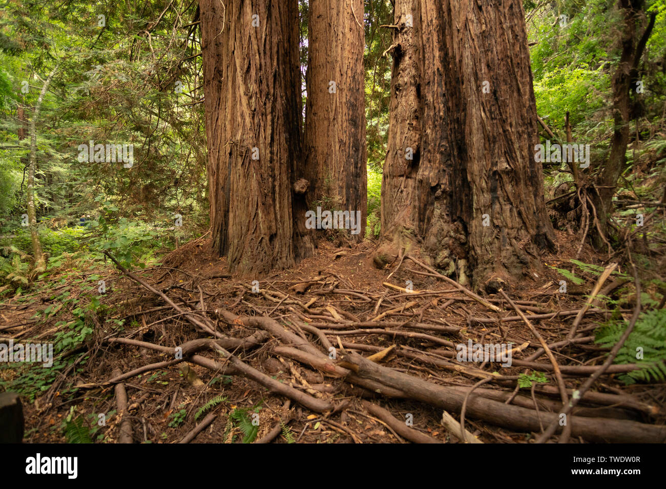 Some branch debris at the base of large Redwood Trees in Muir Woods National Park. - Stock Image