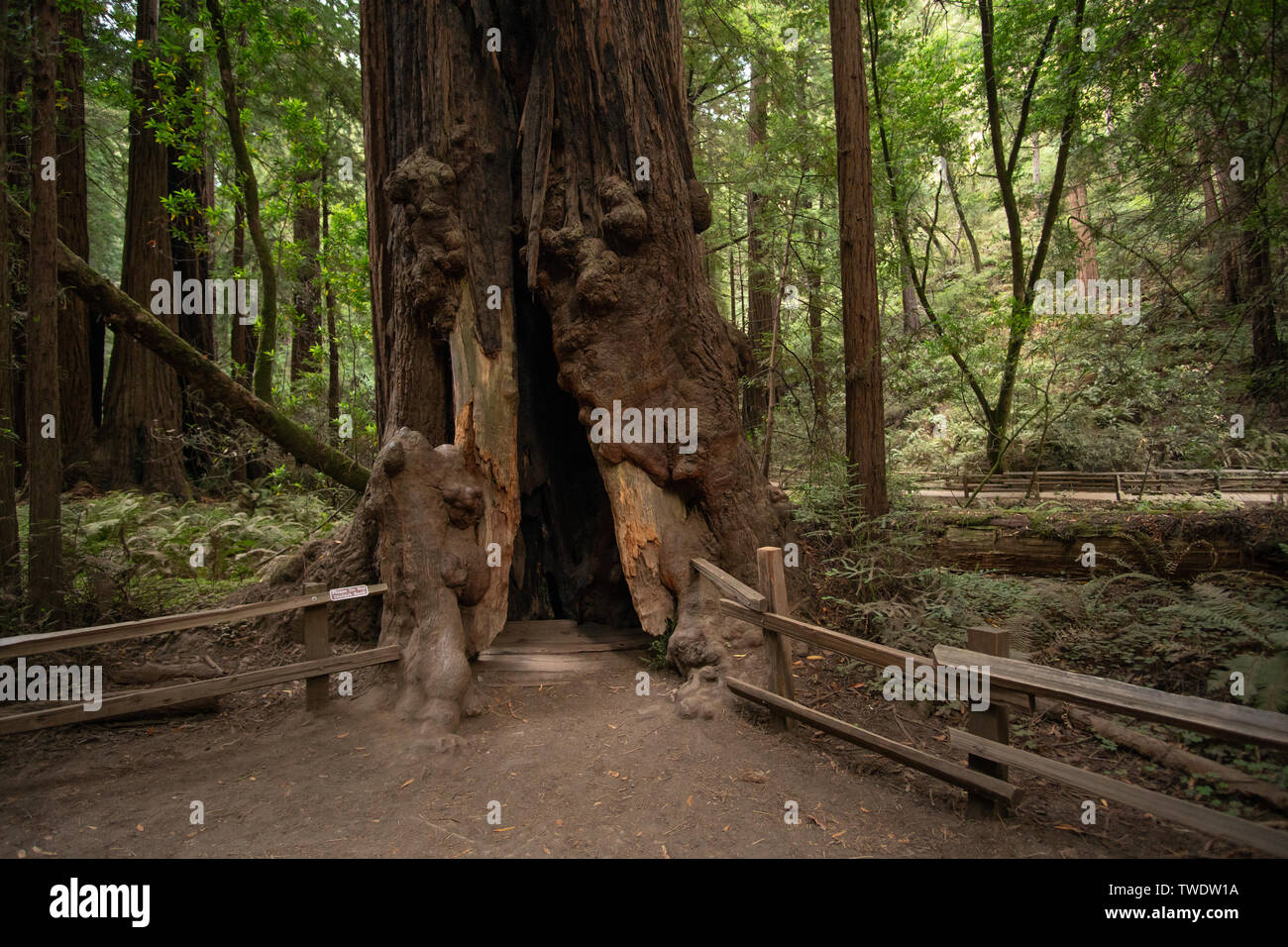 A large redwood tree in Muir Woods showing the hollow insides. - Stock Image