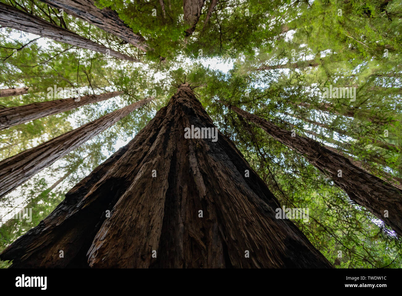 A view looking up in Muir Woods exposes how tall the Redwood Trees in California can be. - Stock Image