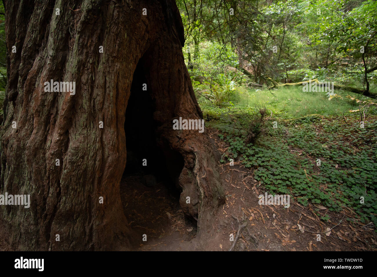 Detailed look at Redwood Tree hollowed out stump. in Muir Woods National Park. - Stock Image