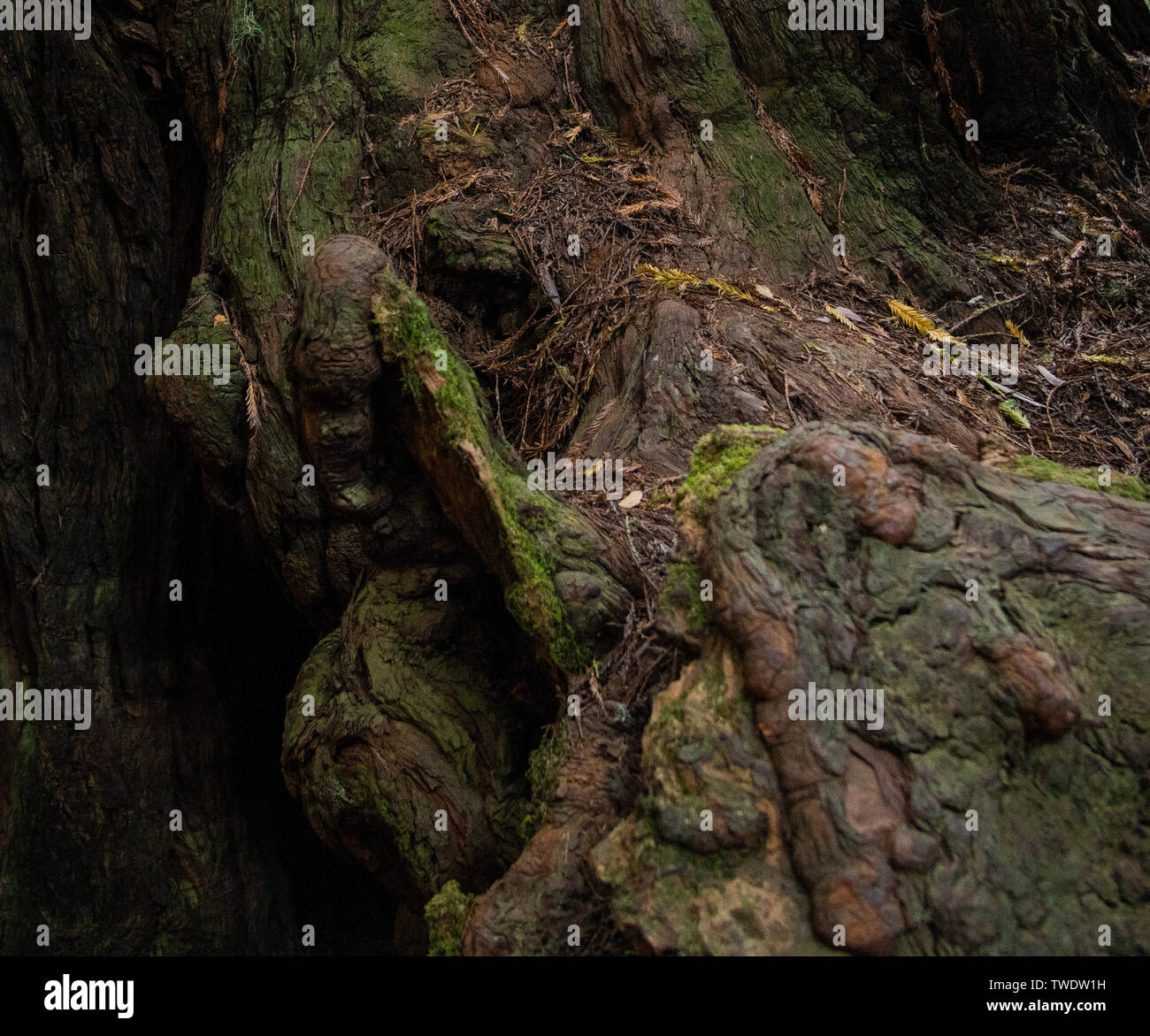 Detailed shot of redwood tree knots on the roots. in Muir Woods National Park. - Stock Image
