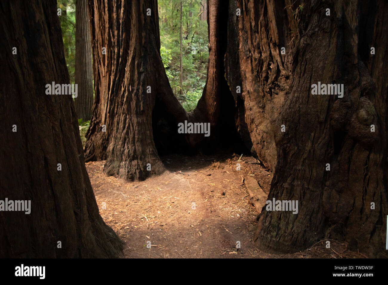 Closer view of Redwood Tree stumps in Muir Woods National Park. - Stock Image
