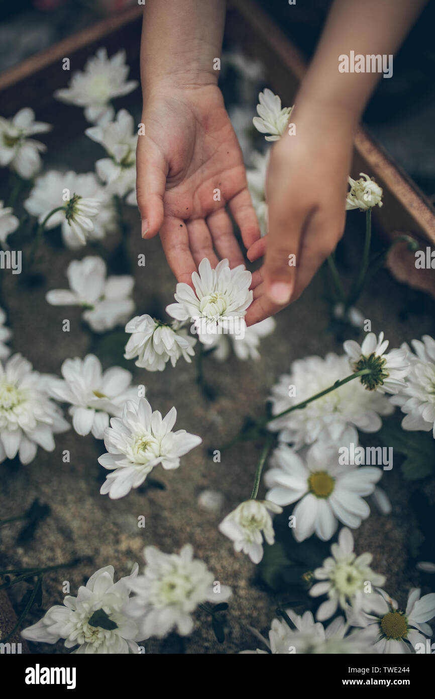 Child's hands touch the chrysanthemum flowers. Closeup. Top view. Environmental protection concept. - Stock Image