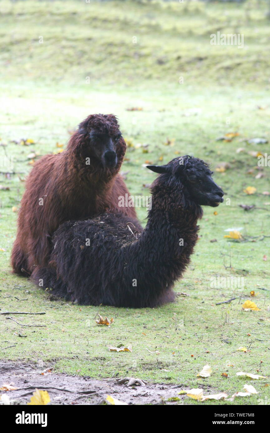 two alpaca (Lama pacos) mating - Stock Image