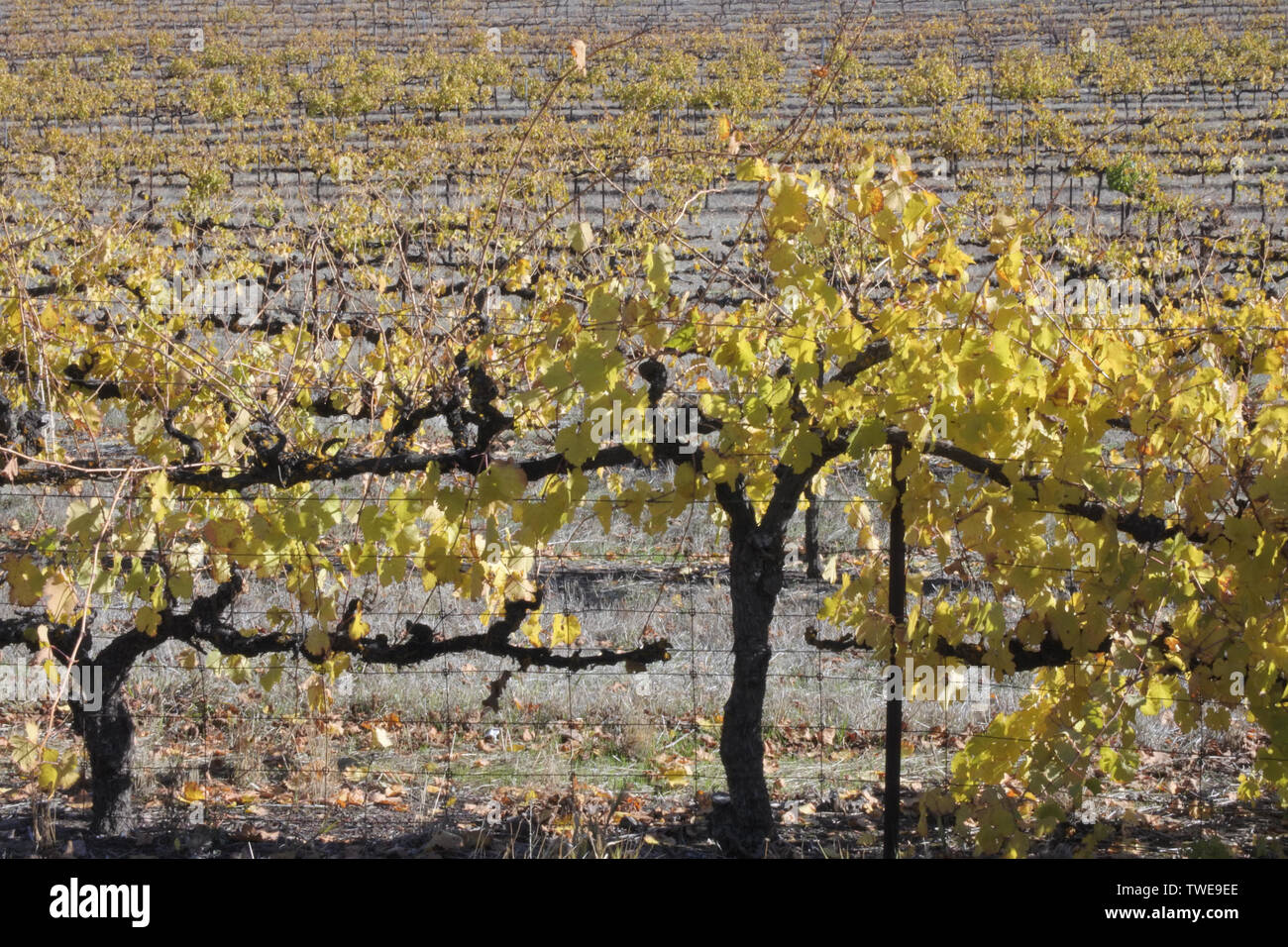 Vneyard in Clare valley. Clare Valley is a renowned wine-producing region northeast of Adelaide in South Australia. Stock Photo