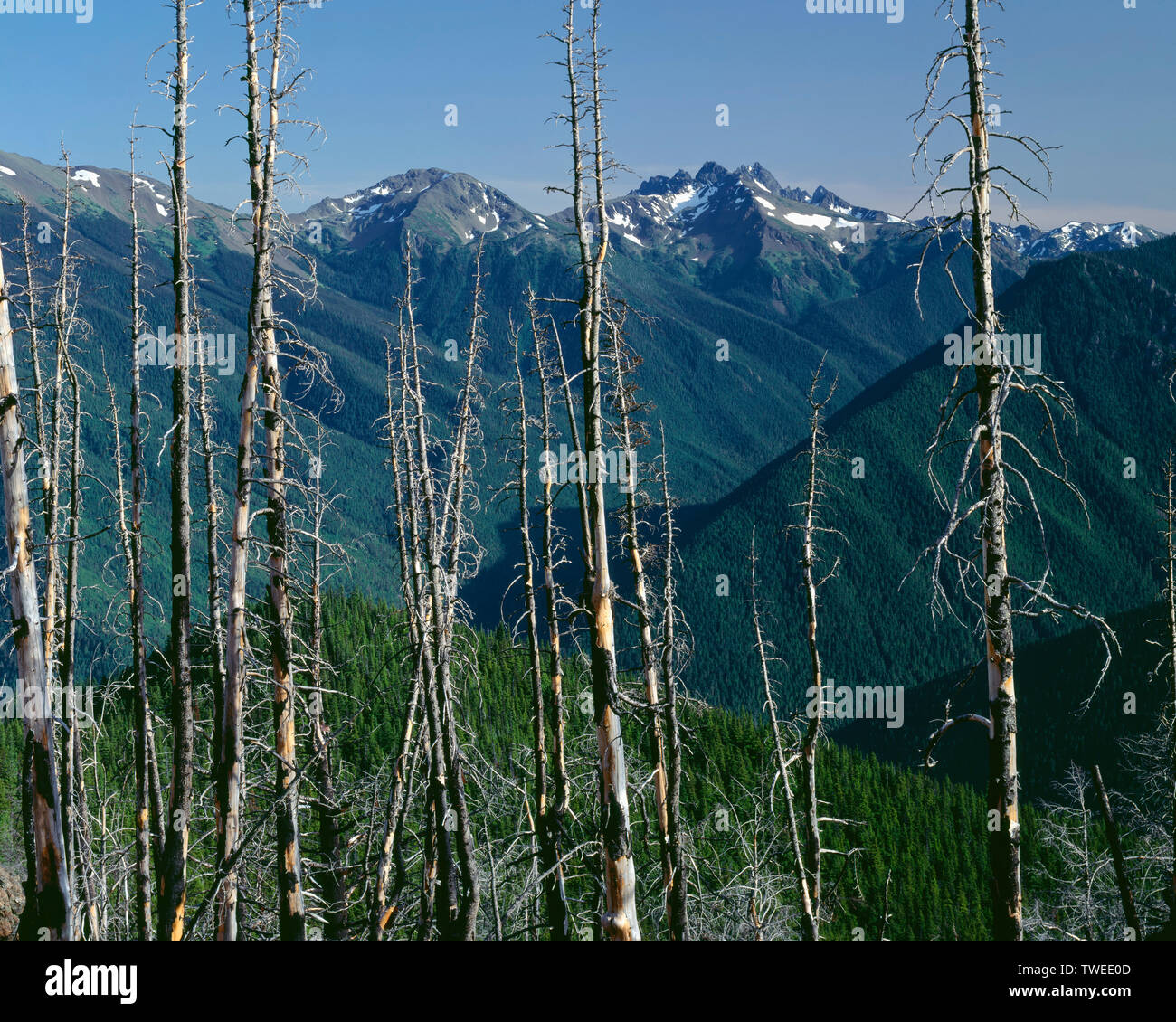USA, Washington, Olympic National Park, Snags frame distant Mt. Deception (center right) which rises above forested ridges and valleys; from Deer Park - Stock Image