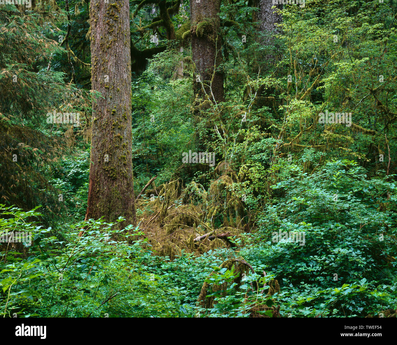 USA, Washington, Olympic National Park, Temperate coniferous rainforest with Sitka spruce and western hemlock; Hoh Rain Forest. - Stock Image