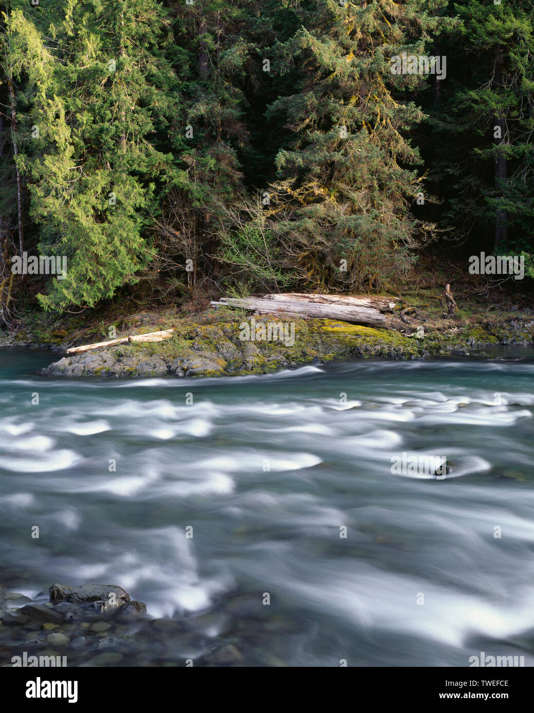 USA, Washington, Olympic National Park, Quinault River in spring and riverside rain forest; near Graves Creek - Stock Image