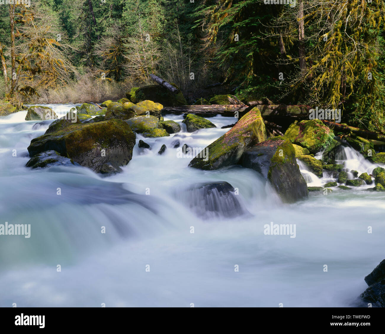 USA, Washington, Olympic National Park, North Fork Skokomish River swollen from spring runoff with maples and conifers lining the riverbank. - Stock Image