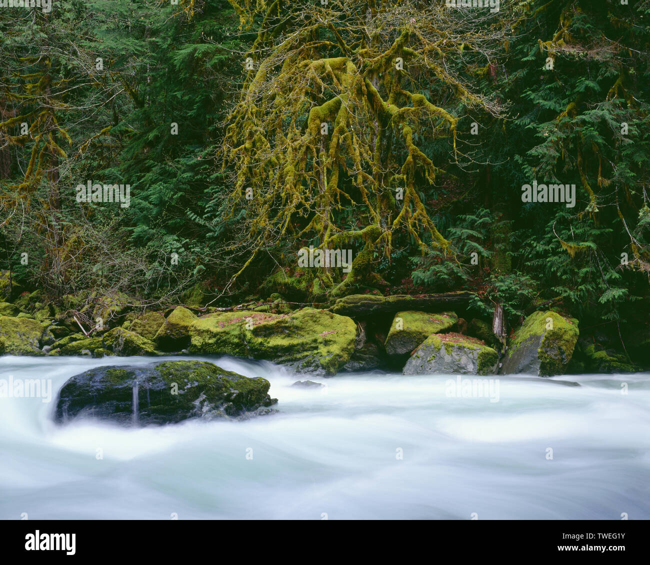USA, Washington, Olympic National Park, Maple and conifers line bank above North Fork Skokomish River which is swollen from spring runoff. - Stock Image