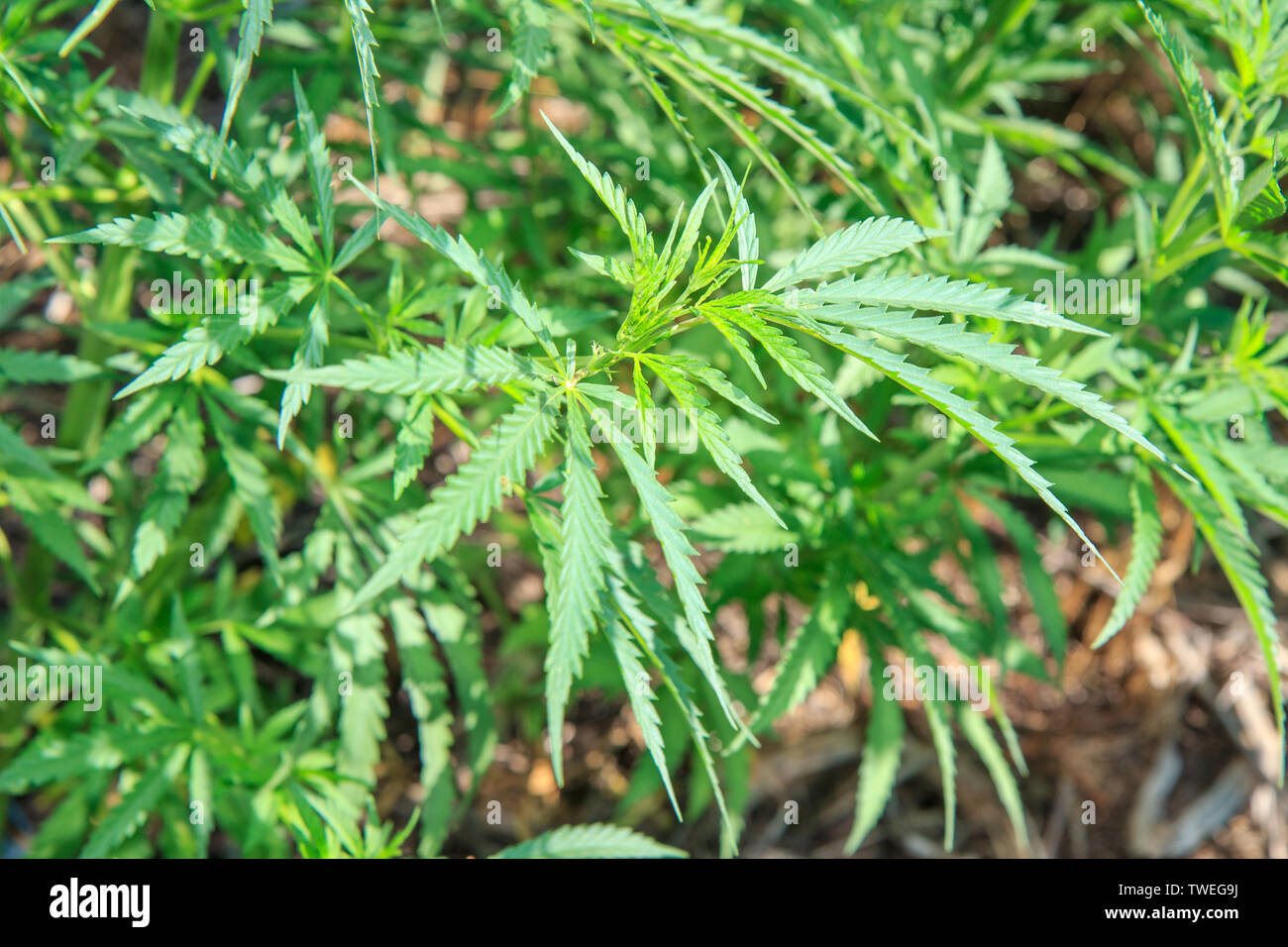 Green leaves of young hemp growing in natural conditions. Solar lighting, summer. - Stock Image