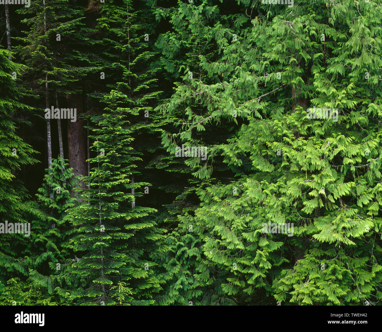 USA, Washington, Olympic National Park, Old-growth coniferous forest with western hemlock and western red cedar; near Lake Creek. - Stock Image