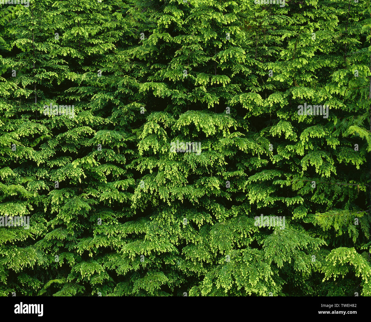USA, Washington, Olympic National Park, Spring growth of western hemlock (Tsuga heterophylla); near Lake Creek. - Stock Image