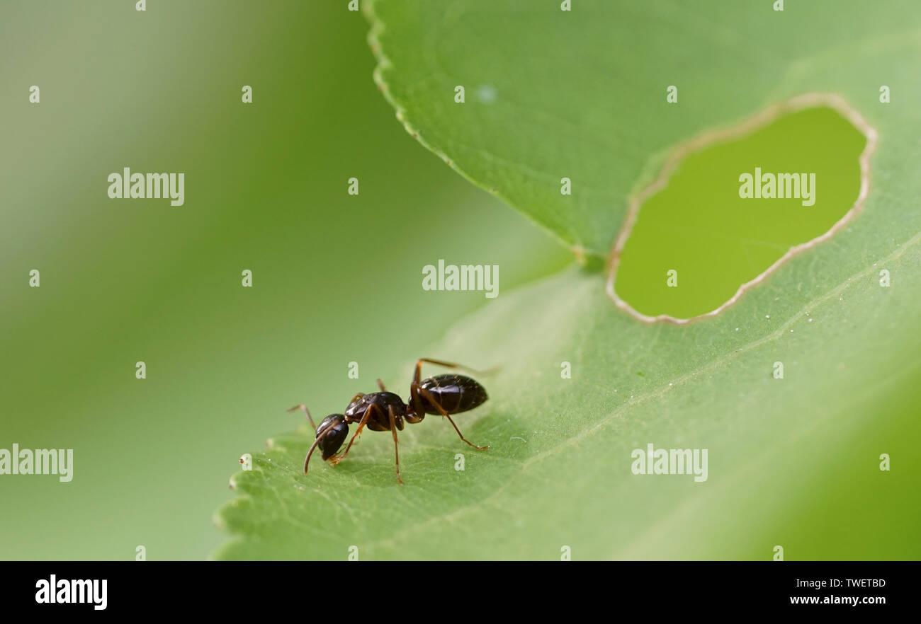 Ameise auf Blatt - Stock Image