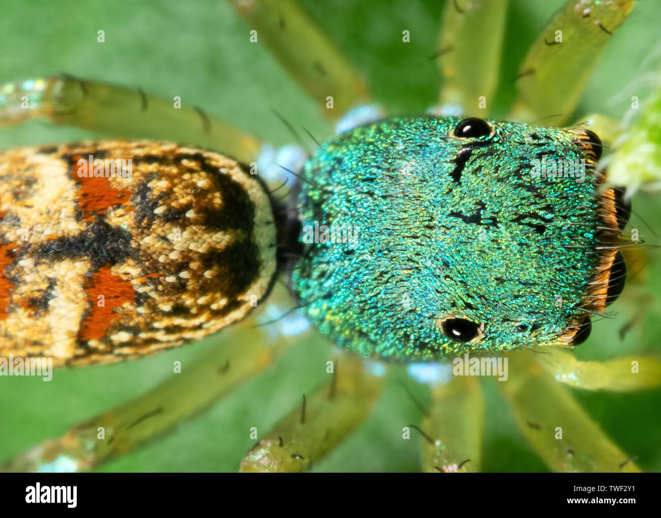 Macro Photography of Colorful Jumping Spider on Green Leaf - Stock Image