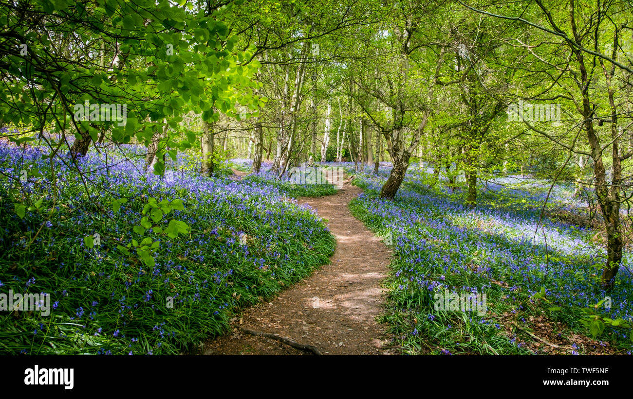 A winding path through Bluebells in the ancient woodland of The Outwoods which is one of the oldest surviving woodland sites in Charnwood. - Stock Image