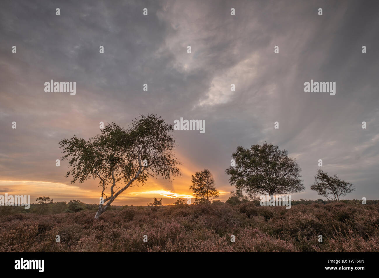 The last of the heather at sunrise at Dunwich heath in Suffolk. - Stock Image