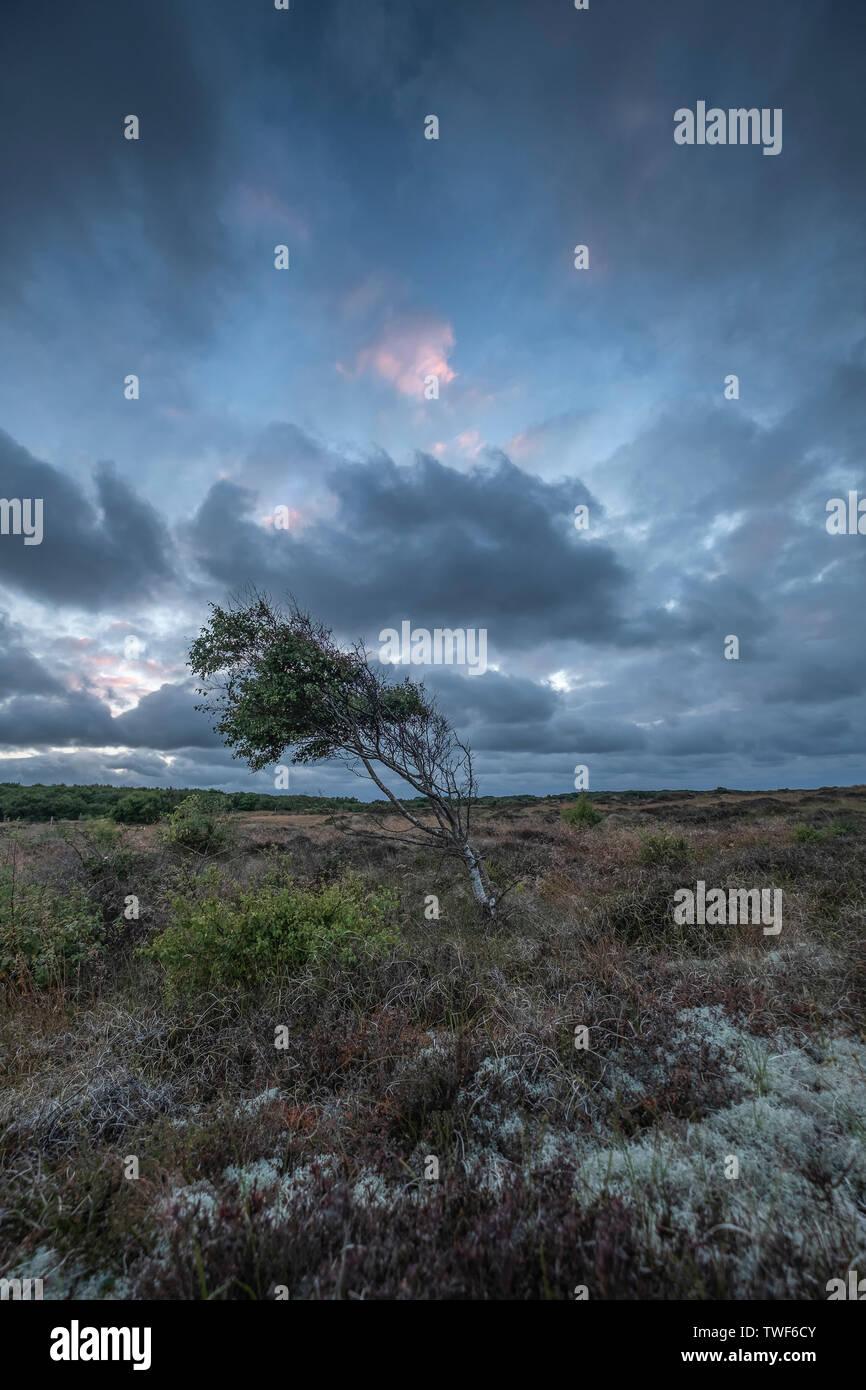 Lone silver birch tree at Winterton on Sea at sunset. - Stock Image