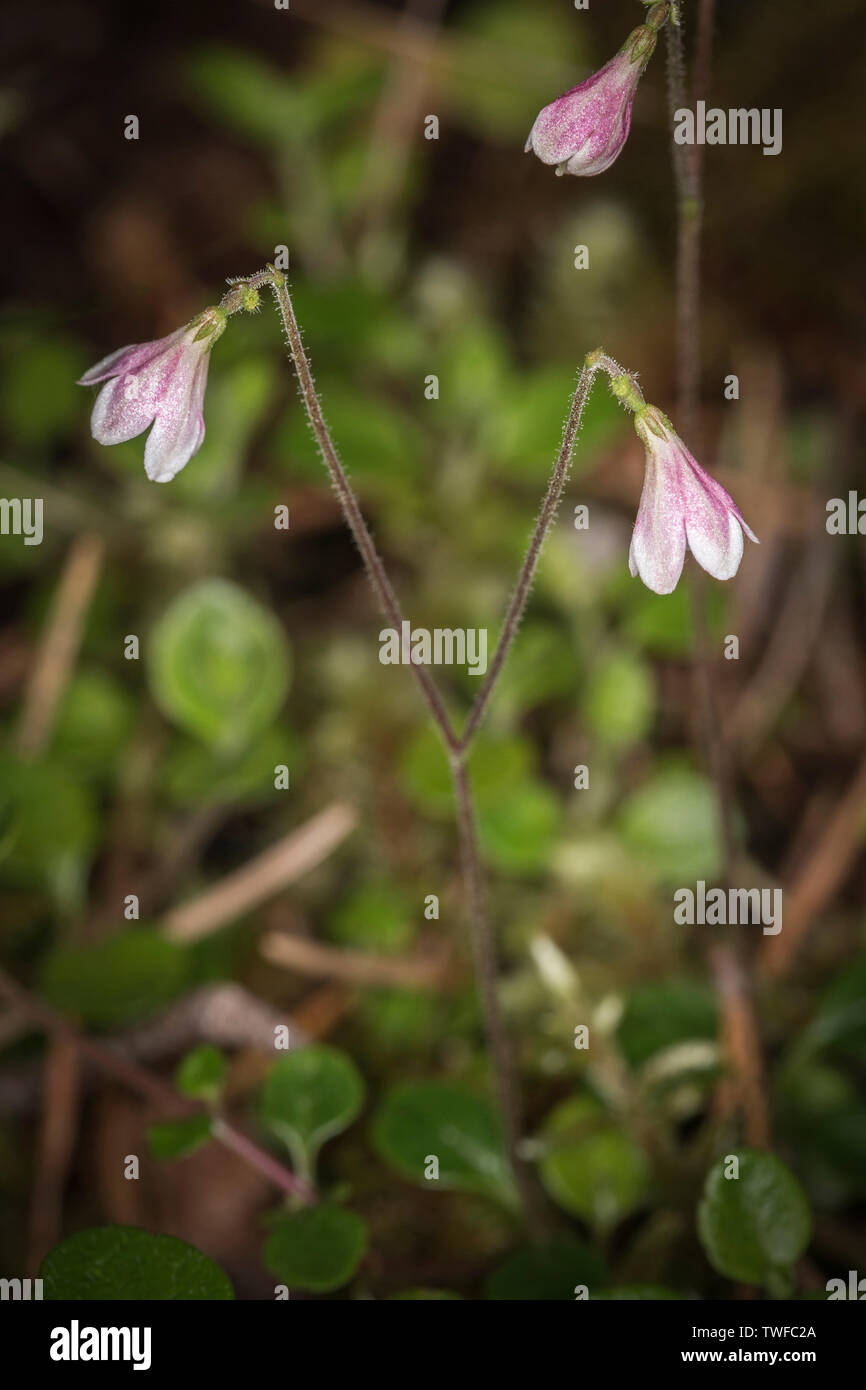 Twinflower or Linnaea borealis in Caledonian Forest in the Highlands of Scotland. - Stock Image