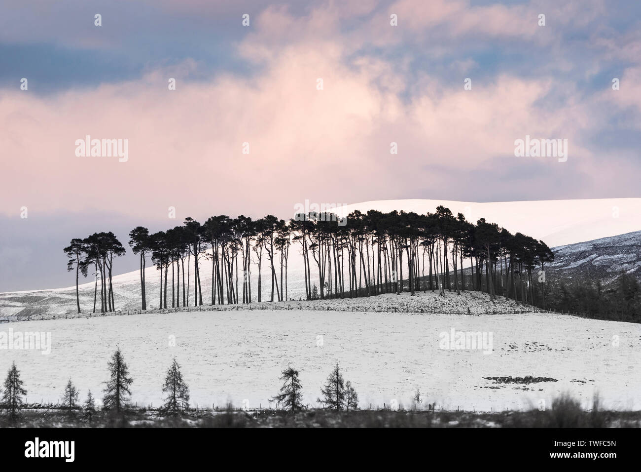 Pines on the Braes of Abernethy in the Cairngorms National Park of Scotland. - Stock Image
