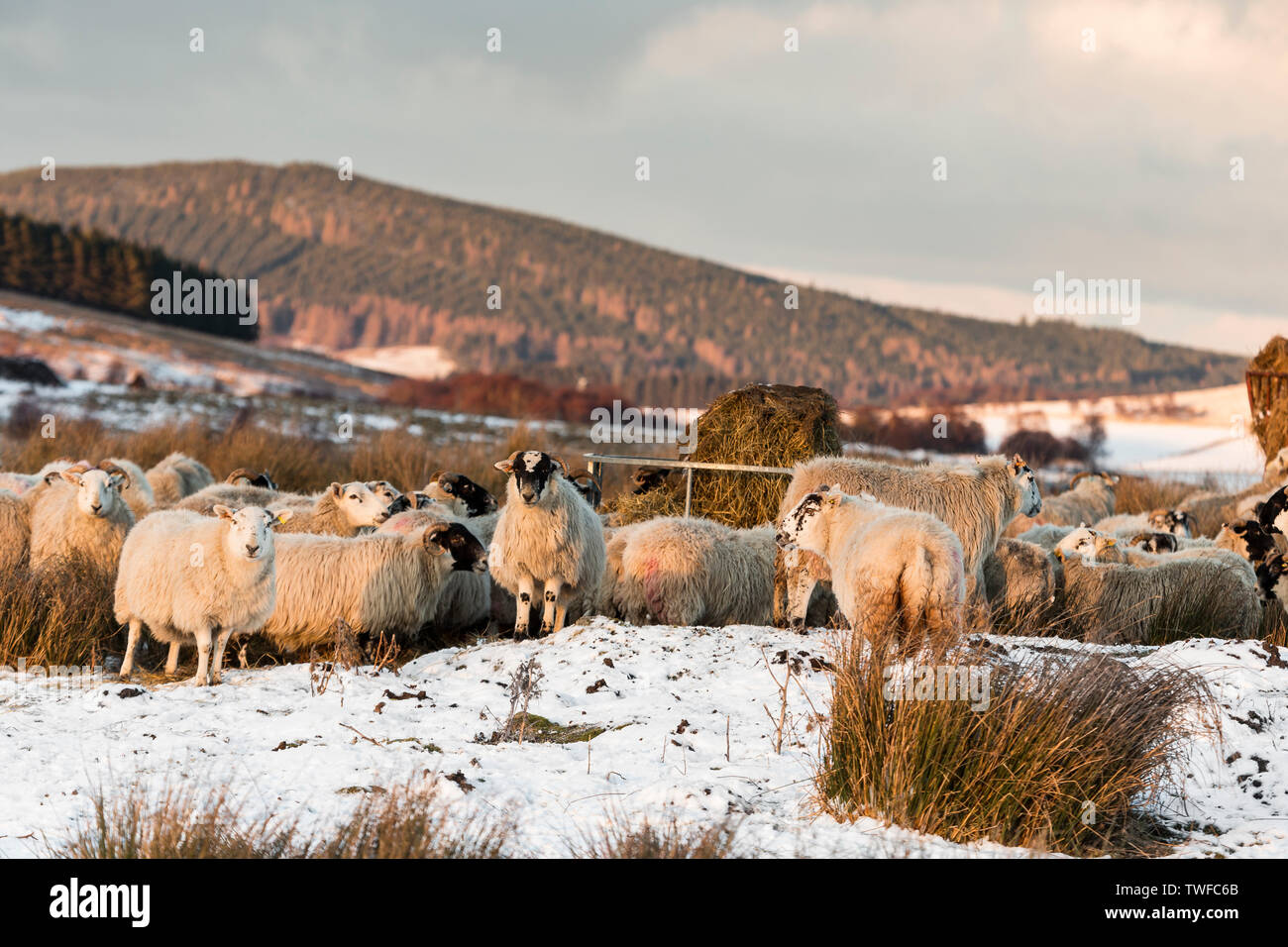 Sheep on the Braes of Abernethy in the Cairngorms National Park of Scotland. - Stock Image