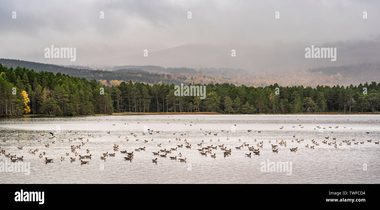 A gaggle of Greylag Geese on Loch Garten in the Highlands of Scotland. - Stock Image
