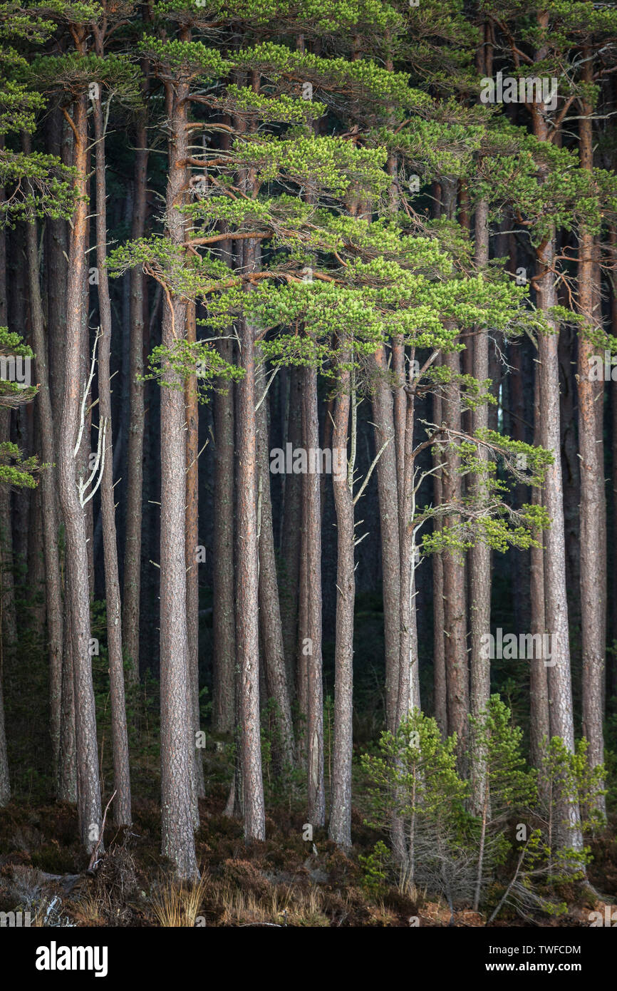 Tall Scots Pine by Loch Mallachie in the Cairngorms National Park of Scotland. - Stock Image