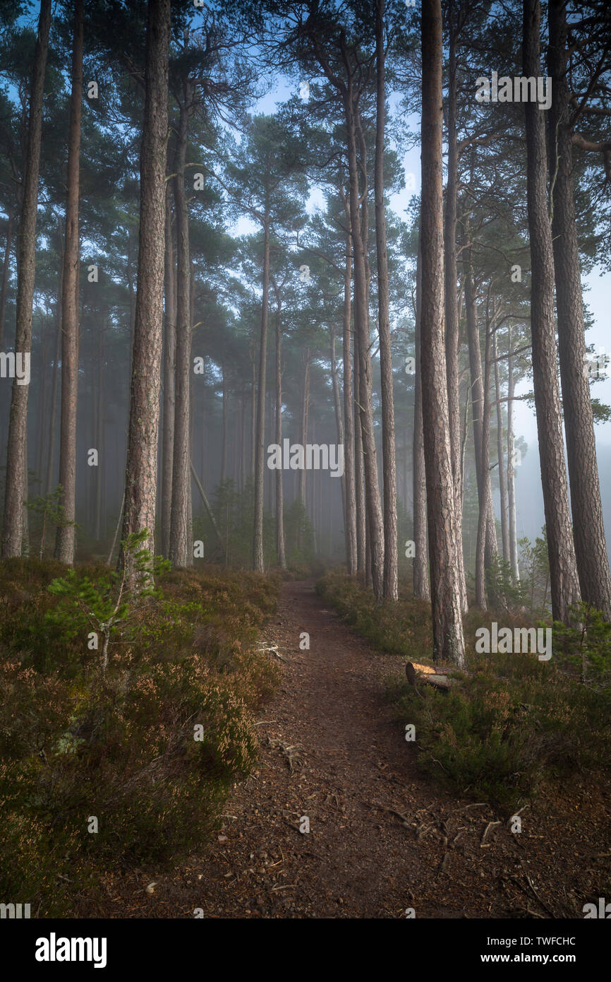 Caledonian Forest in morning mist at Abernethy in the Cairngorms National Park of Scotland. - Stock Image
