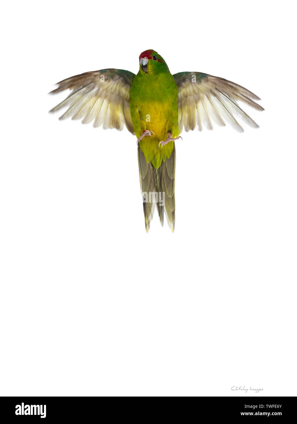 Cute young bright yellow / green Red crowned Kakariki bird. Flying / lift up showing belly. Isolated on white background. - Stock Image