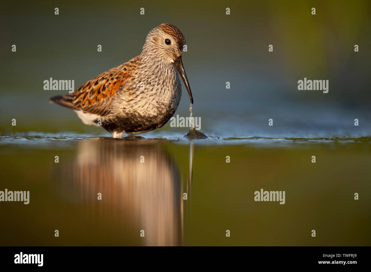 A Dunlin in breeding plumage pulls some grass from the shallow water with the golden morning sun shining on it and the green reflected water. - Stock Image