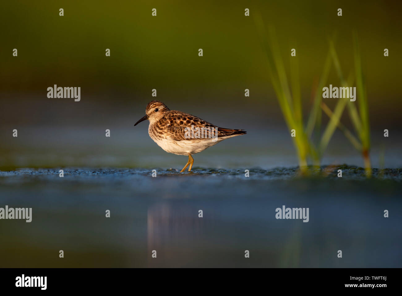 A tiny Least Sandpiper stands in shallow water with bright green marsh grasses in the golden morning sunlight. - Stock Image