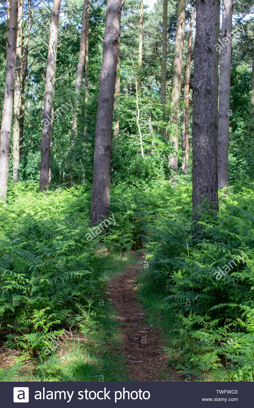Path between the trees in British forest - Stock Image