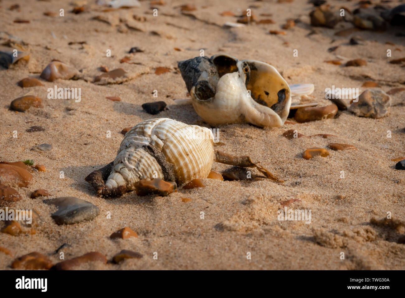 Dog whelk shells on a sandy beach surrounded by pebbles - Stock Image