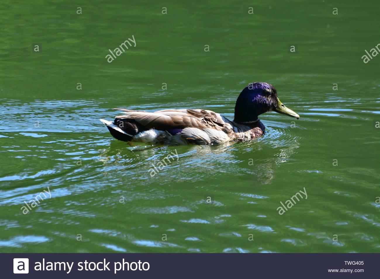 Ducks in Maksimir park in Zagreb,Croatia - Stock Image