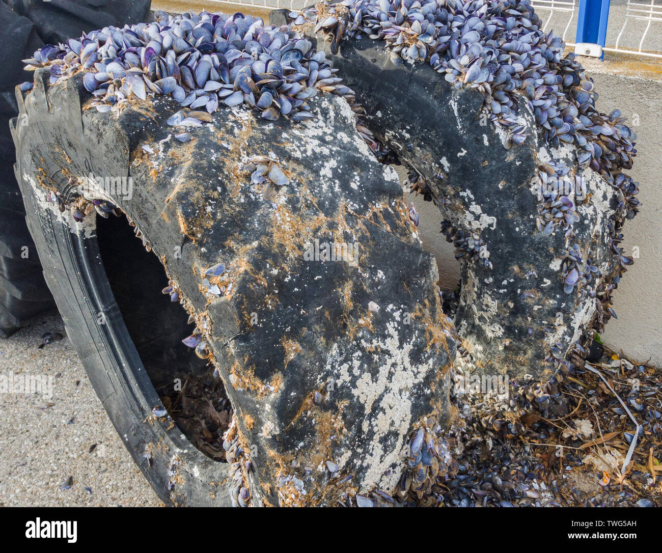 The colony of mollusks settled on big tires. Selective focus. - Stock Image