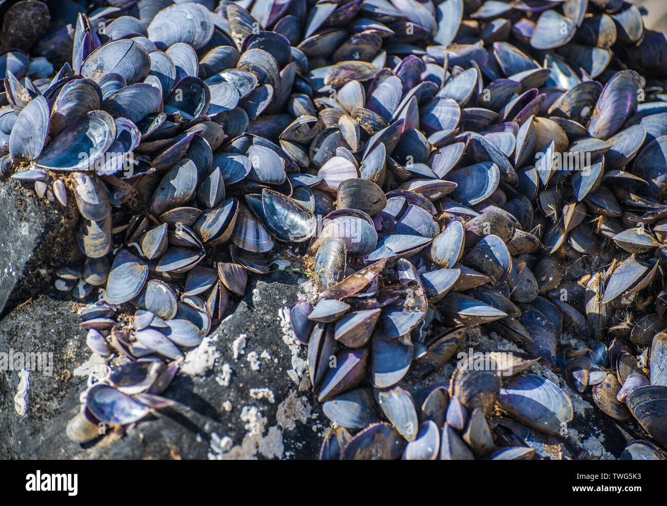 Dried empty shells of molluscs. Selective focus. - Stock Image