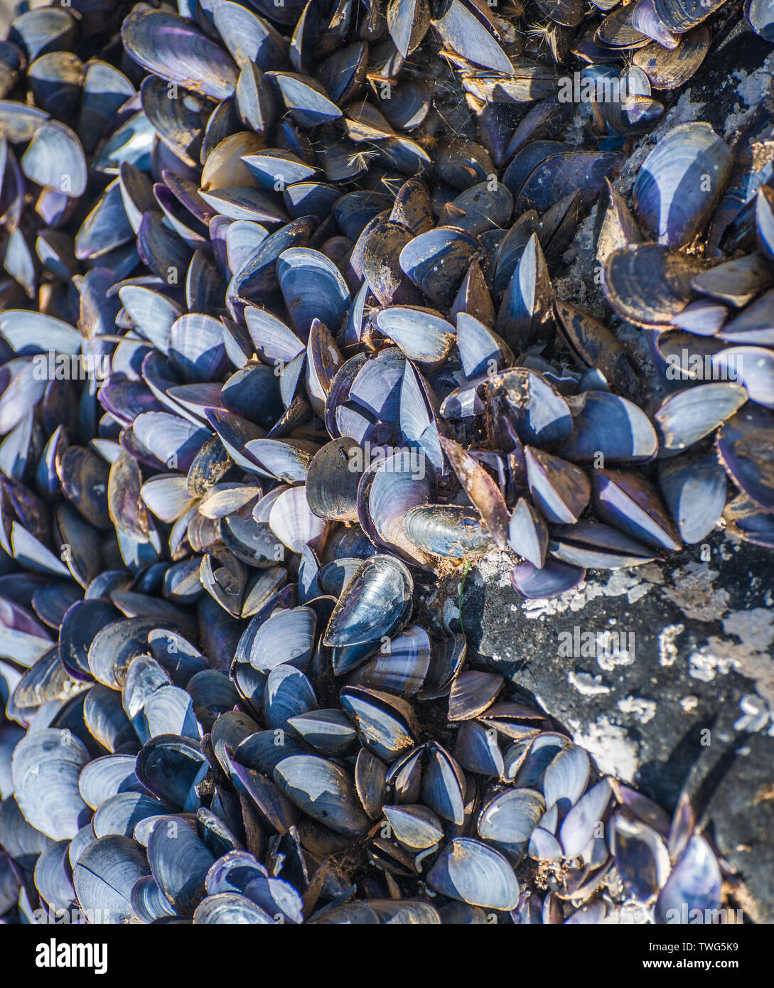 A colony of mollusks. Selective focus. - Stock Image