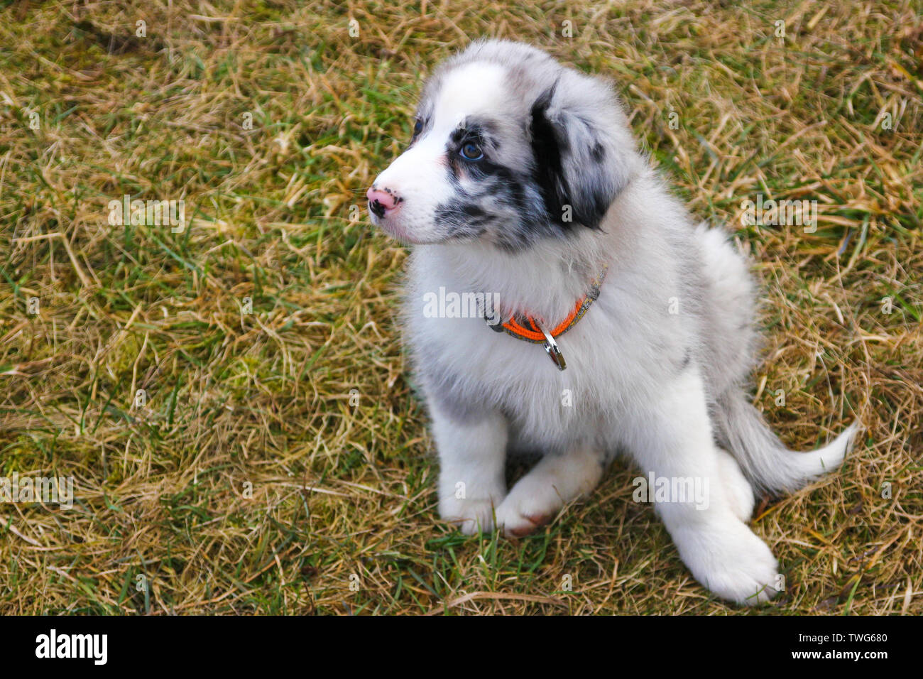 The cute young puppy of the Australian shepherd is posing on the dry grass during the walk. He enjoys to be outside, looking like smiling. - Stock Image