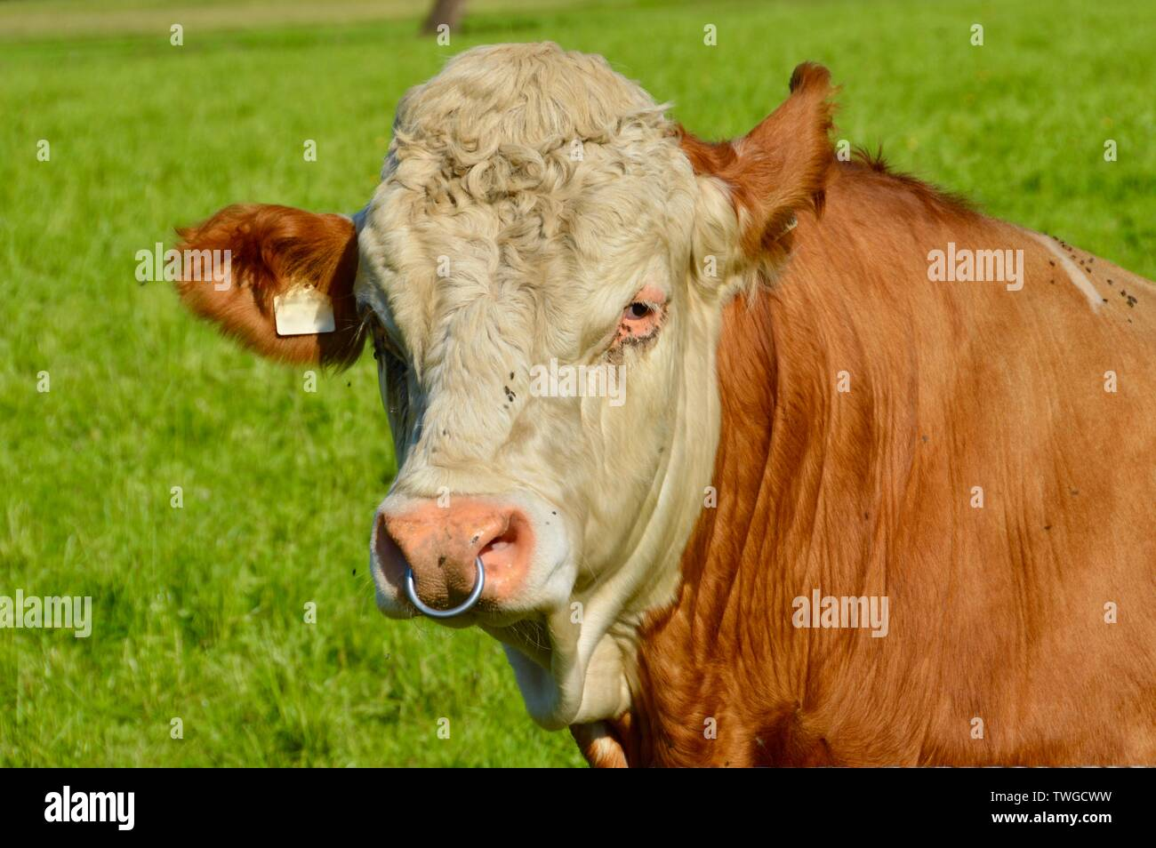 adolescent bull with nose ring companied by flys - Stock Image