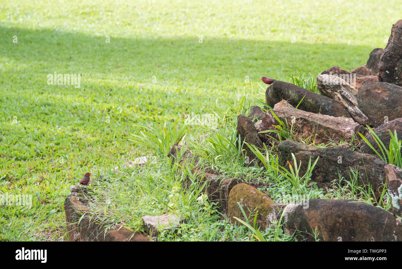 Two crimson finches on outdoor garden rock feature in tropical Darwin, Australia - Stock Image